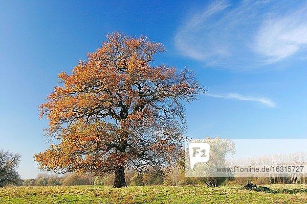 Alte solitäre Eiche auf Wiese in der Elbaue im Herbst  Biosphärenreservat Mittelelbe  Aken  Deutschland (Sachsen-Anhalt)