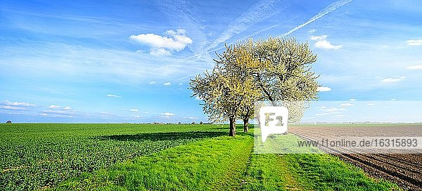 Feldweg durch grüne Felder  Alle mit blühenden alten Kirschbäumen  blauer Himmel  Abendlicht  Burgenlandkreis  Sachsen-Anhalt  Deutschland  Europa