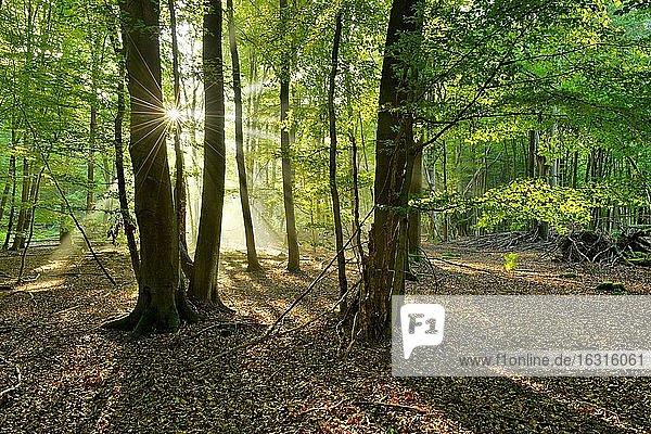 Lichtdurchfluteter unberührter Buchenwald mit viel Totholz am frühen Morgen  Sonne strahlt durch Nebel  Reinhardswald  Hessen  Deutschland  Europa