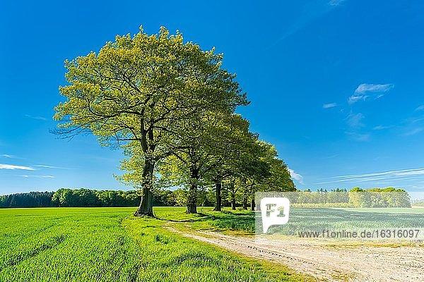 Alte Eichen säumen einen Feldweg durch grüne Felder im Frühling  Reinhardswald  Nordhessen Hessen  Deutschland  Europa