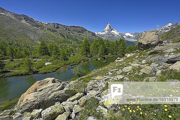 Almwiese von blühenden gelben Blumen am Grindjisee  hinten schneebedecktes Matterhorn  Walliser Alpen  Kanton Wallis  Schweiz  Europa