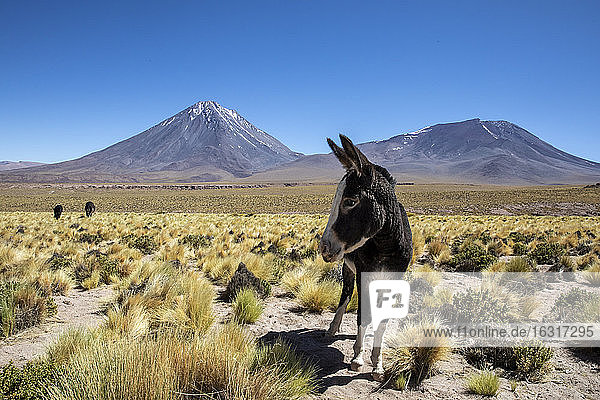 Wild burros (Equus africanus asinus) in front of Licancabur stratovolcano  Andean Central Volcanic Zone  Chile  South America