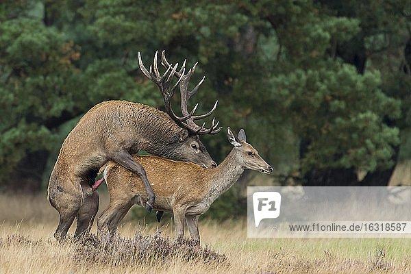 Rothirsch (Cervus elaphus) bei der Paarung  Fortpflanzung  Nationalpark De Hoge Veluwe  Niederlande  Europa