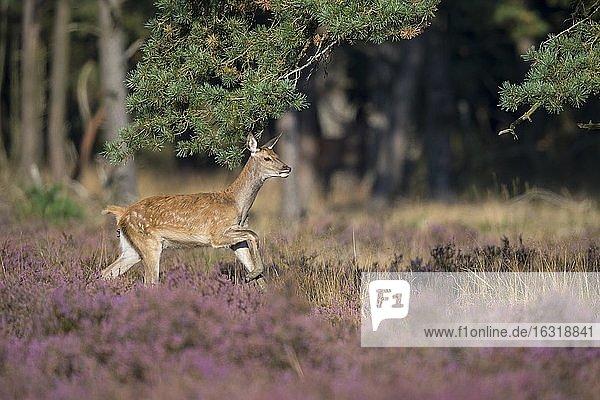 Kalb des Rothirsch (Cervus elaphus) in blühender Heide  laufend  Nationalpark De Hoge Veluwe  Niederlande  Europa