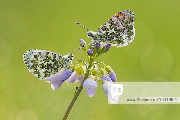Aurorafalter (Anthocharis cardamines) an blühendem Wiesen-Schaumkraut (Cardamine pratensis)  Oldenburger Münsterland  Vechta  Niedersachsen  Deutschland  Europa