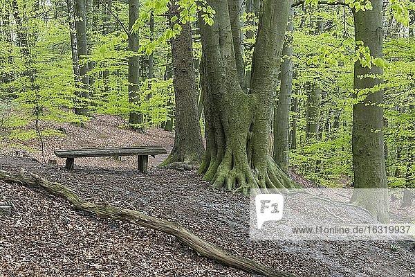 Buchen (Fagus sylvatica) im Frühling in den Dammer Bergen  Bank  Wald  Baum  Bexaddetal  Oldenburger Münsterland  Damme  Niedersachsen  Deutschland  Europa