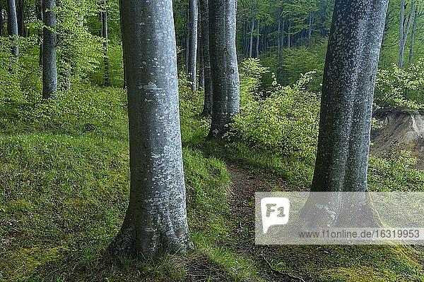 Weg entlang von Buchen (Fagus sylvatica) an den Kreidefelsen von Rügen  Jasmund Nationalpark  Wald  Saßnitz  Mecklenburg- Vorpommern  Deutschland  Europa