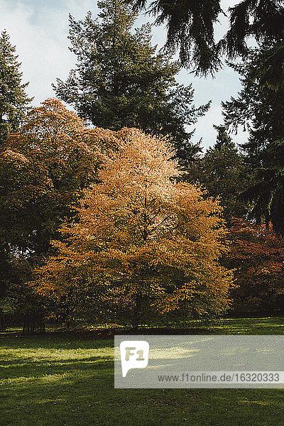Radiant orange autumn tree in park