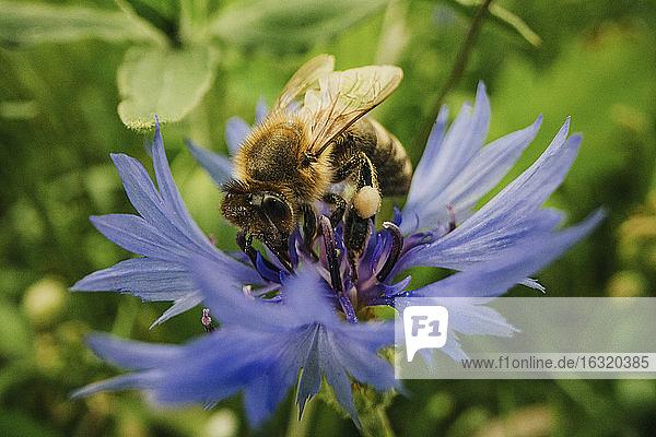 Close up bumblebee pollinating blue cornflower