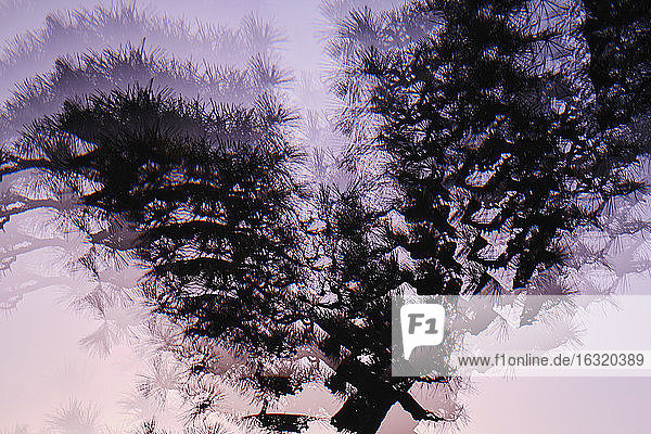 Multiple image silhouetted tree against purple background