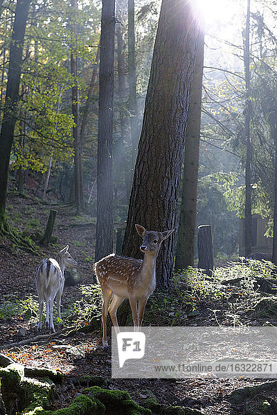 Germany  Furth im Wald  fallow deers at wildlife park