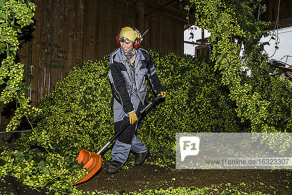 Germany  Bavaria  Attenhofen  woman in barn processing hop