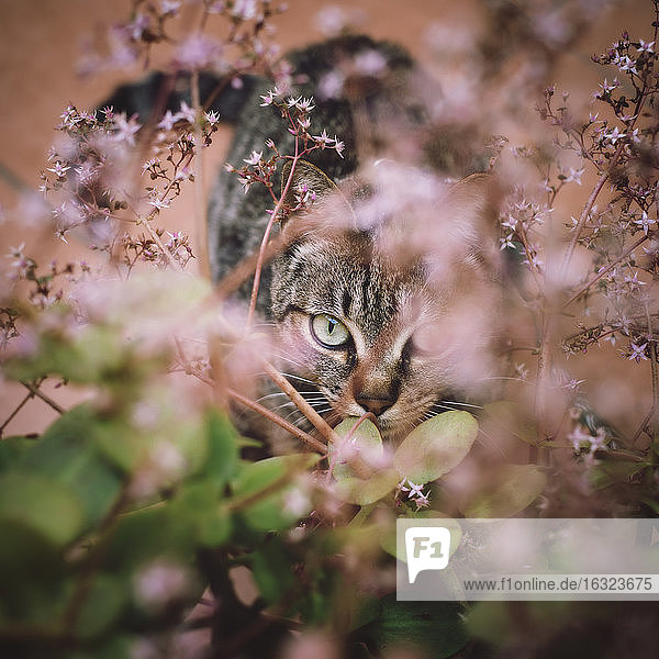 Tabby cat hiding among the flowers of a garden