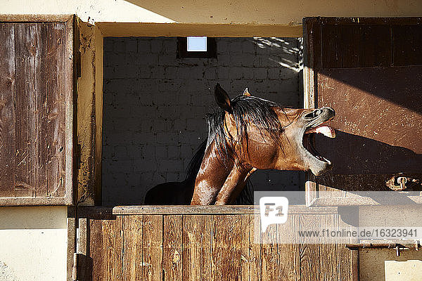 Egypt  El Gouna  neighing horse in stable