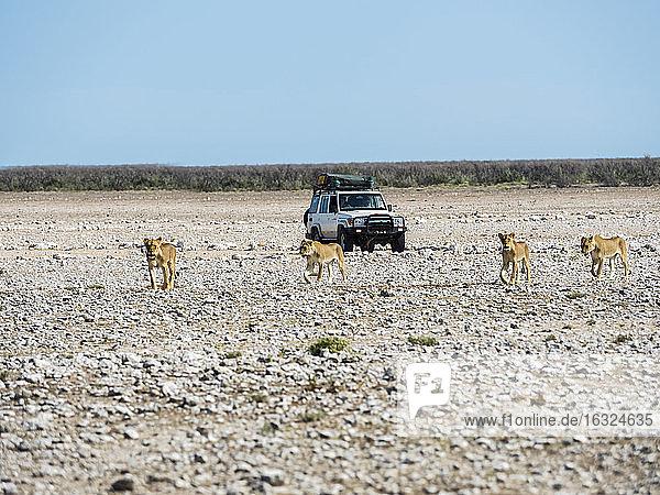 Namibia  Okaukuejo  Etosha National Park  young female lions and jeep