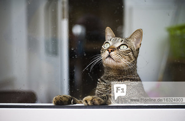Tabby cat looking up through a wet window