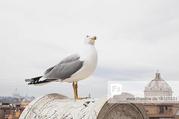 Italy  Rome  seagull on balustrade