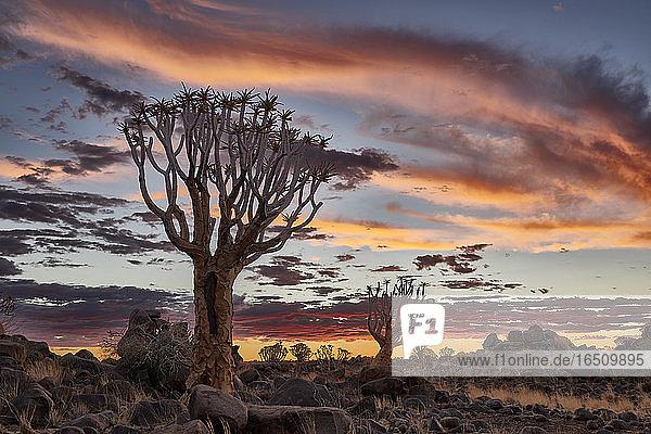 Köcherbaumwald  Namibia  Südafrika  Afrika