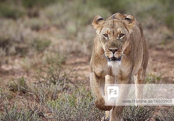 Löwin  Kgalagadi-Transfrontier-Nationalpark  Botswana  Südafrika  Afrika