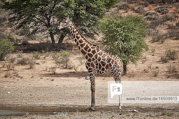 Giraffe  Kgalagadi-Transfrontier-Nationalpark  Botswana  Südafrika  Afrika