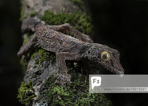 Flat-tailed gecko (Uroplatus sikorea) in the rainforests of Andasibe National Park  Madagascar  Africa
