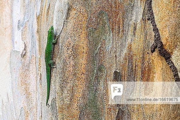 Small day gecko (Phelsuma astriata) Mahe Island  Seychelles  Africa