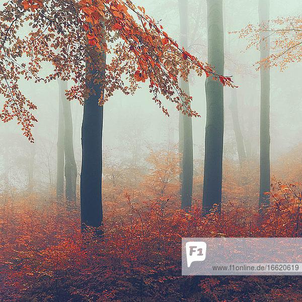 Nebliger Herbstwald in der Morgendämmerung