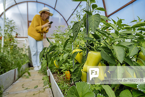 Woman photographing vegetable plant while standing at greenhouse