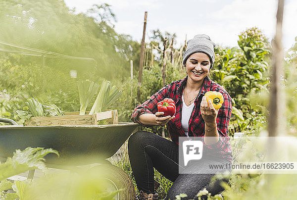 Smiling young woman picking bell peppers while working in vegetable garden