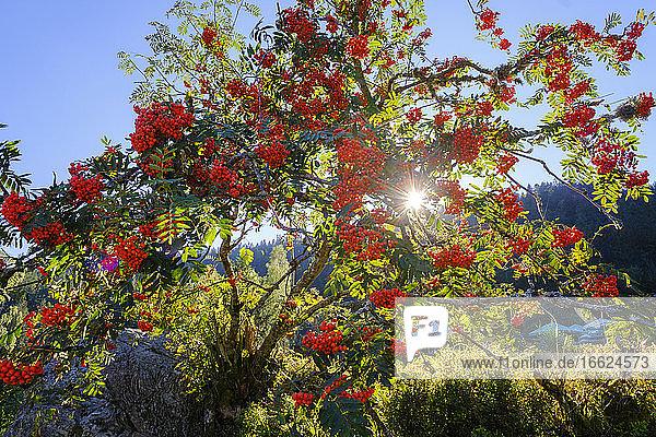 Rowan tree (Sorbus aucuparia) illuminated by sunlight