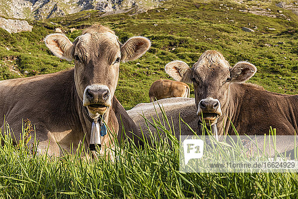 Portrait of two cows relaxing in grass