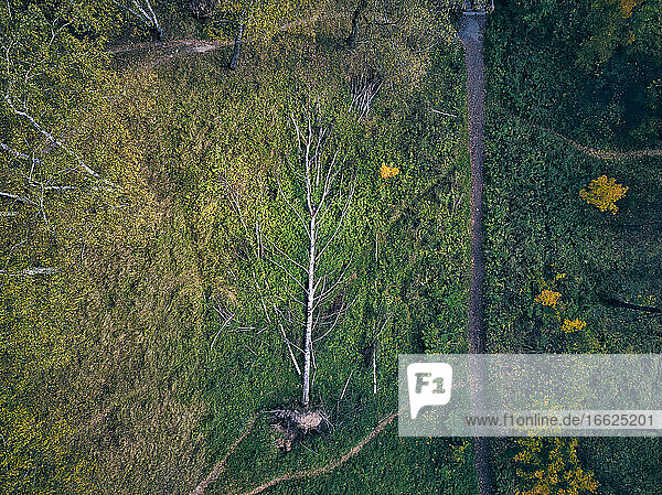 Drone view of fallen tree in green forest