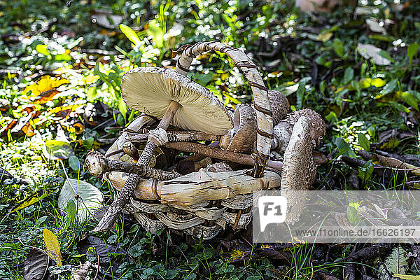 Basket full of various mushrooms lying on forest floor