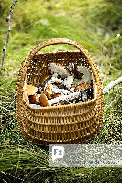 Mushroom basket kept on grass in forest