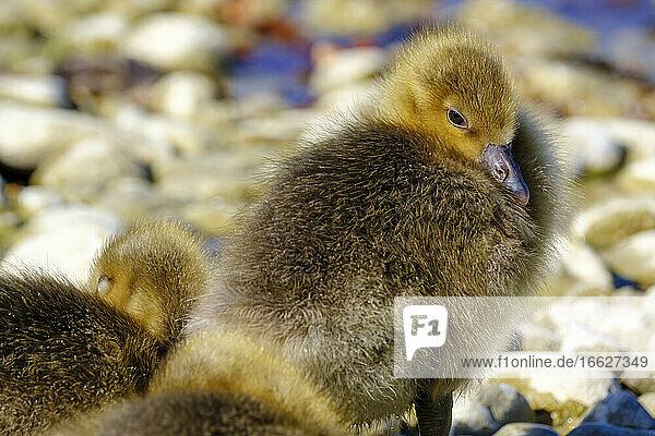 Portrait of cute greylag goose (Anser anser) duckling