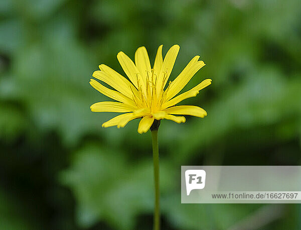 Yellow blooming daisy (Aposeris foetida)
