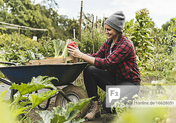 Young woman collecting vegetables in wheelbarrow while working in community garden