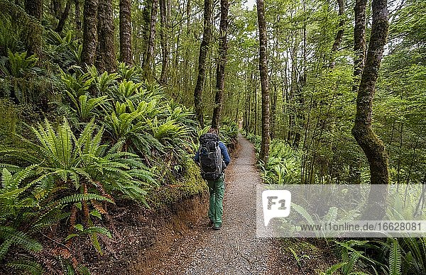 Hiker on trail through forest with ferns  temperate rainforest  Kepler Track  Fiordland National Park  Southland  New Zealand  Oceania