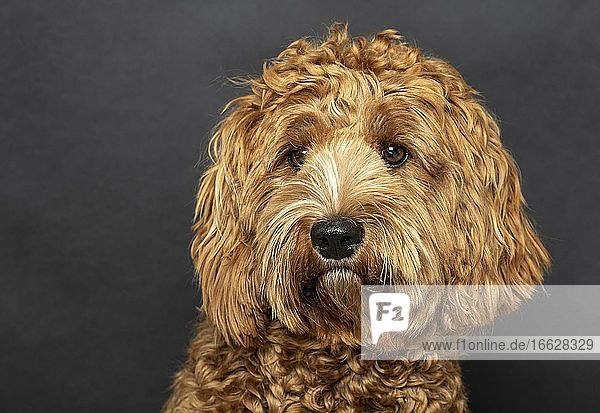 Original Australia Labradoodle in medium  pedigree dog  young dog  nine months  dog portrait  studio recording