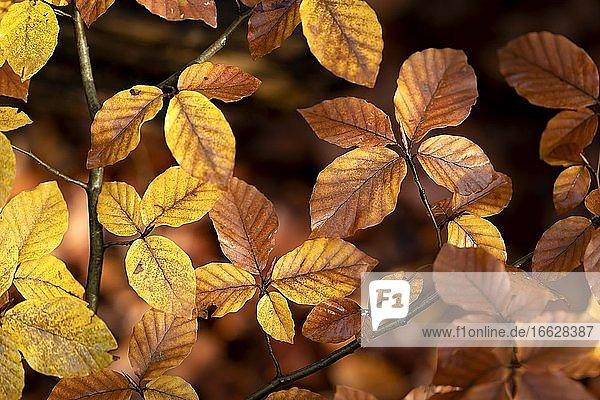 Herbstliche gelbe  braune Buchenblätter aus Buchenwald  Herbst  Aumühle  Sachsenwald  Kreis Herzogtum Lauenburg  Schleswig Holstein  Deutschland  Europa