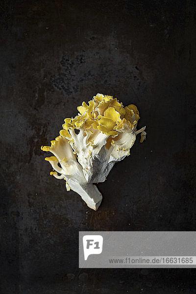 A yellow oyster mushroom