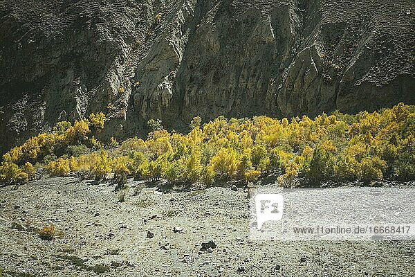 Trees glowing in autumn colours in front of a rugged rock face on a scree field in a valley of the Wakhan Corridor  Badakhshan  Afghanistan  Asia
