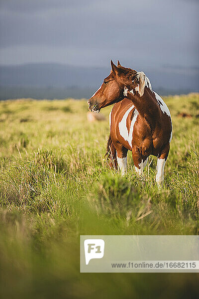 Brown and white spotted horse standing in grassy field on stormy day