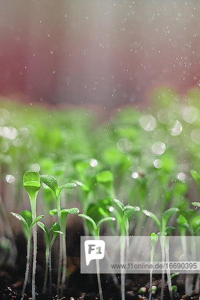 Fresh micro greens  growing  macro photography. green leafs. mixed salad