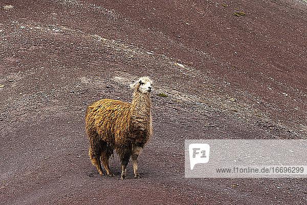 Llama standing on Rainbow Mountain  Pitumarca  Peru