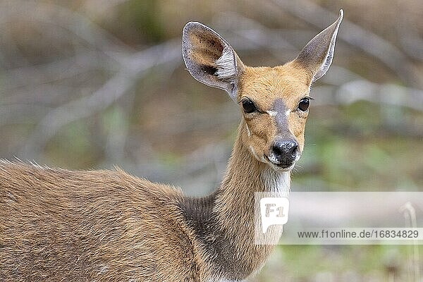 Harnessed Bushbuck (Tragelaphus scriptus)  close-up of an adult female  Mpumalanga  South Africa.