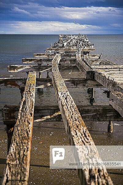 Cormorant colony on the old pier at Punta Arenas  Magallanes and Antartica Chilena Region  Chilean Patagonia  Chile