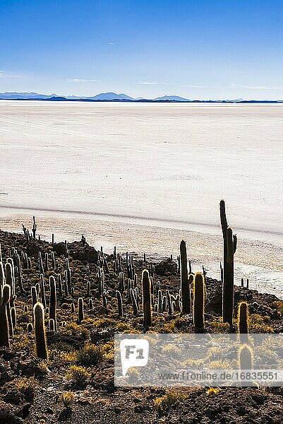 Cactus and Isla Incahuasi (aka Fish Island or Inka Wasi)  Uyuni Salt Flats (Salar de Uyuni)  Uyuni  Bolivia