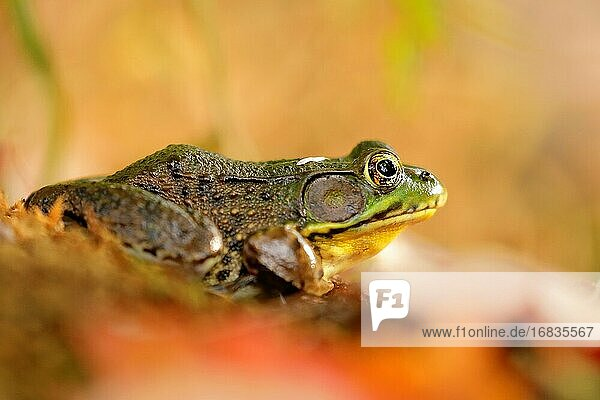Close up of an American bullfrog (Lithobates catesbeianus) in a freshwater lake of North America