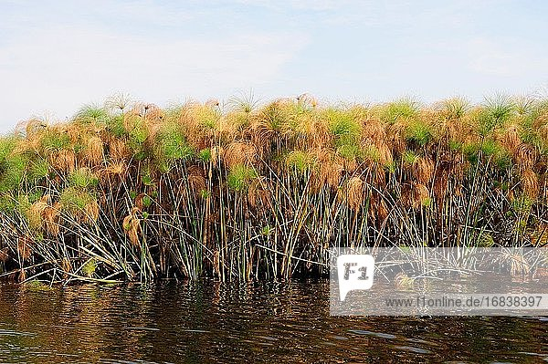 Papyrus sedge or Nile grass (Cyperus papyrus) is an aquatic perennial herb native to Africa. This photo was taken in Okavango Delta  Botswana.